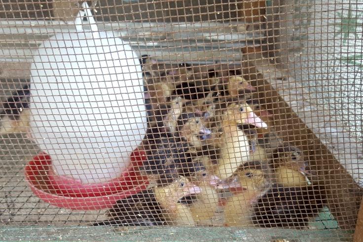 11. Ducklings