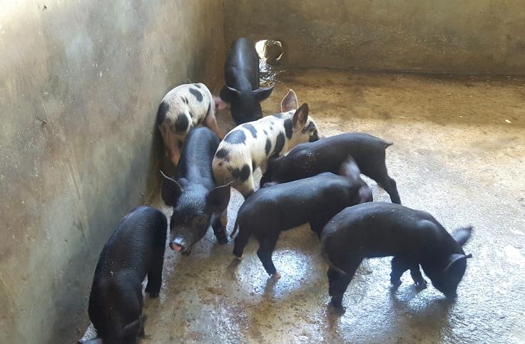12. Piglets
