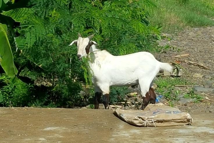 14. A female goat