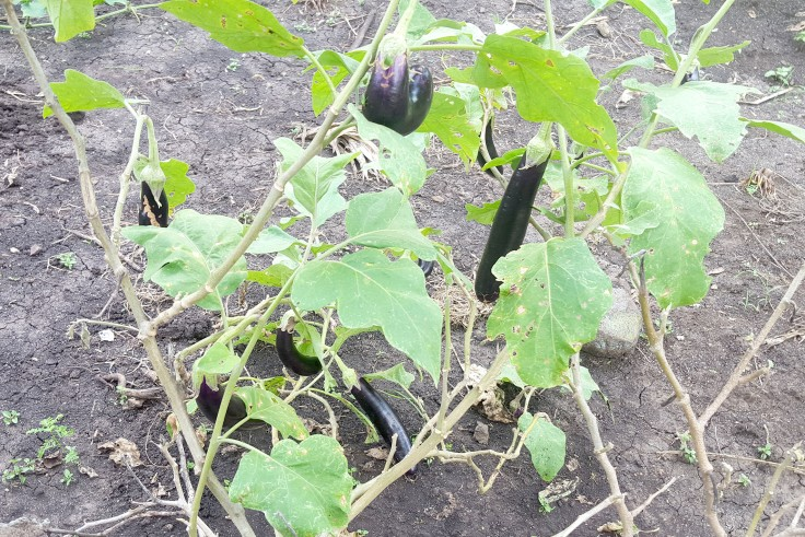 18a. Some very nice eggplants