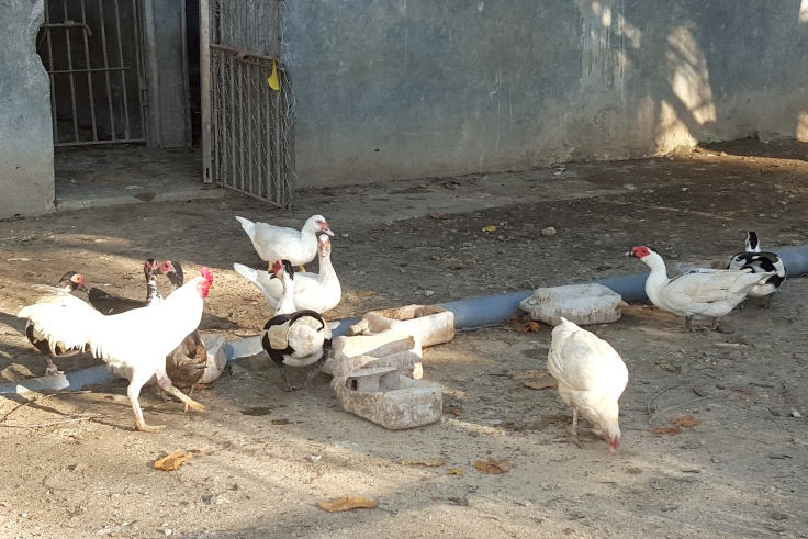 9. Chickens with a few ducks