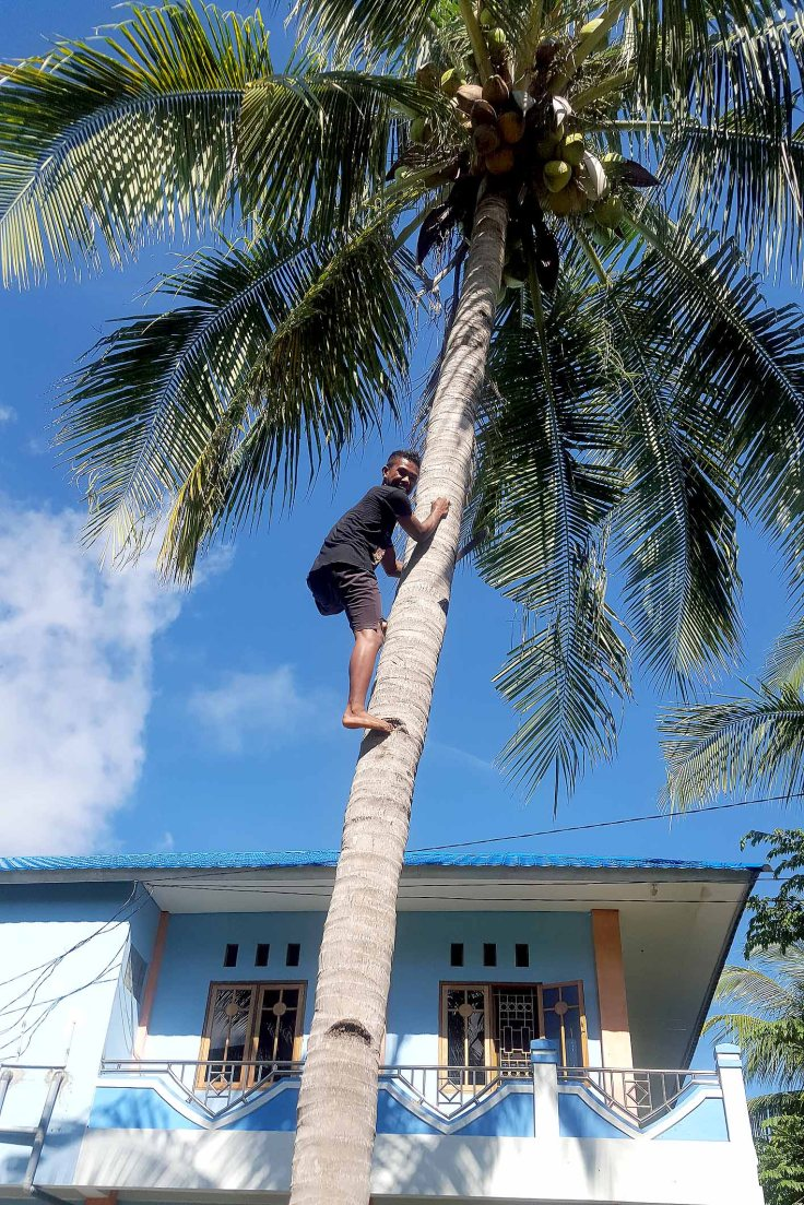 14. Collecting coconuts