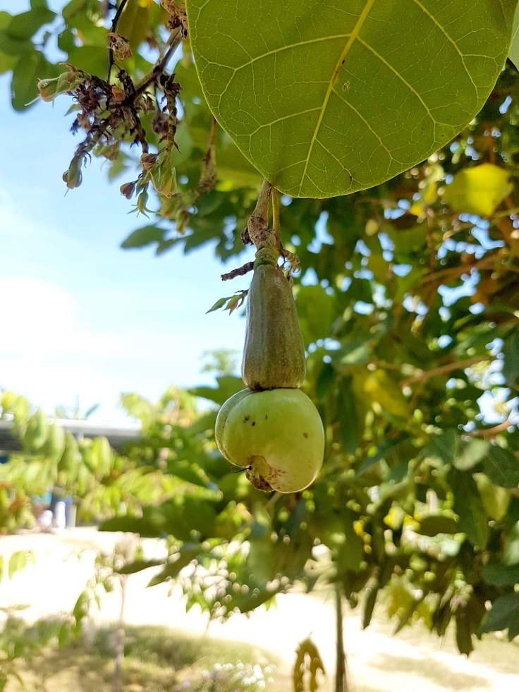 11-a-young-cashew-nut-on-the-tree-at-the-monastery