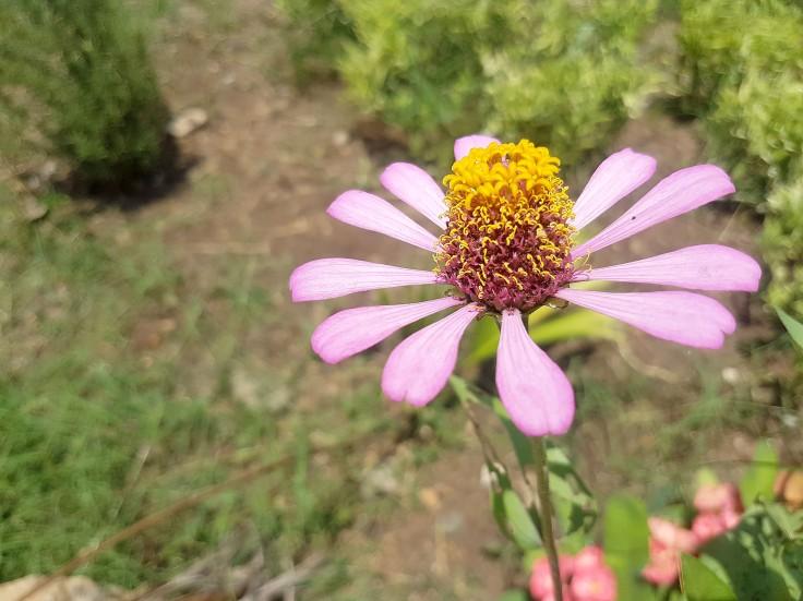 12-echinacea-flower-in-the-garden