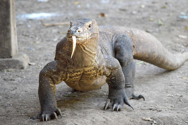 15. Komodo Dragon
